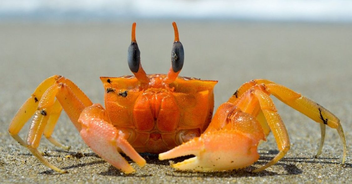 Crab on a beach, crabs are a natural source of astaxanthin