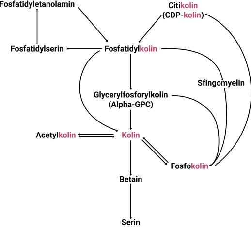 the choline pathway
